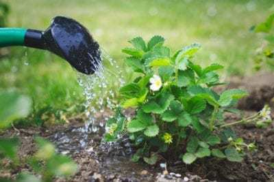 Как правильно выращивать и ухаживать за клубникой. Пересадка клубники