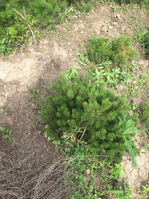 Сосна горная Pinus mugo Green Garth
