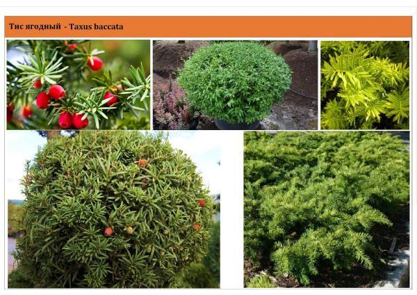 Tис ягодный Taxus baccata Green Garth