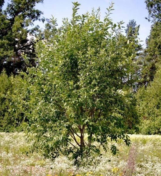 Ясень зеленый Fraxinus lanceolata Borkh Green Garth