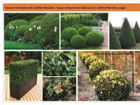 Самшит Buxus Green Garth