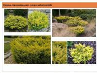 Можжевельник горизонтальный Limeglow Juniperus horizontalis Limeglow Green Garth