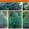 Кипарисовик горохоплодный Baby Blue - Chamaecyparis pisifera Baby Blue Green Garth