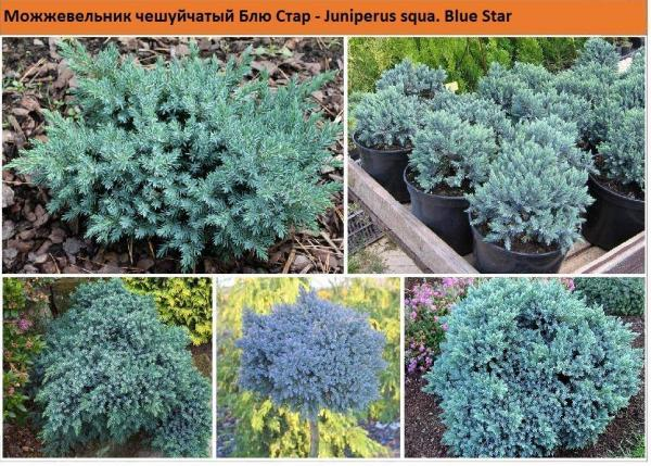 Можжевельник чешуйчатый Blue Star Green Garth
