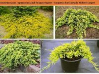 Можжевельник горизонтальный Голден Карпет - Juniperus horizontalis 'Golden Carpet' Green Garth