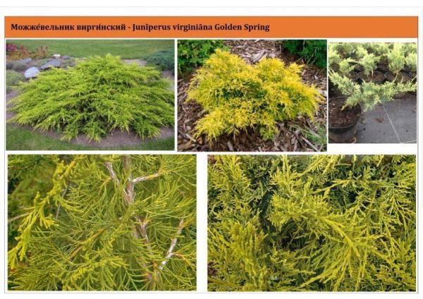 Можжевельник виргинский Golden Spring Green Garth