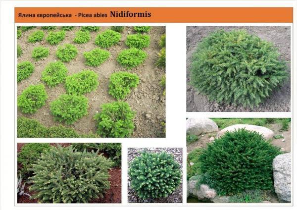 Ель подушковидная Picea abies Nidiformis Green Garth