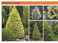 Ель канадская Picea glauca Green Garth