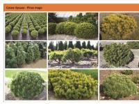 Сосна горная Mughus Pinus mugo mughus Green Garth