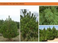Сосна крымская Pinus nigra subsp. pallasianaСосна крымская Pinus nigra subsp. pallasiana Green Garth