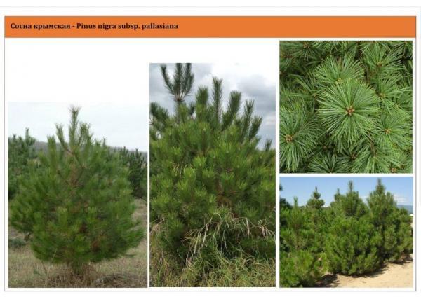Сосна крымская Pinus nigra subsp. pallasiana Green Garth