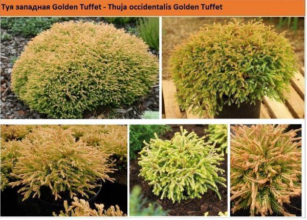 Туя западная Golden Tuffet Green Garth