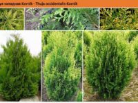 Туя западная Kornik - Thuja occidentalis Kornik Green Garth