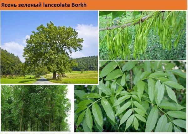 Ясень зеленый  lanceolata Borkh Green Garth