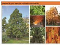 Метасеквойя  Metasequoia Green Garth