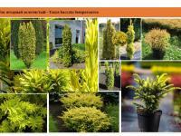 Тис ягодный золотистый Taxus baccata Semperaurea Green Garth