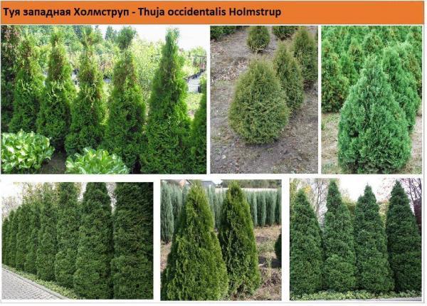 Туя западная Холмструп Thuja occidentalis Holmstrup Green Garth