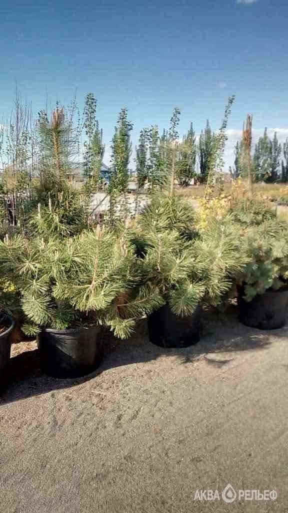 Сосна чёрная Pinus nigra Green Garth