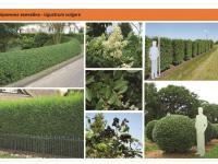 Бирючина Ligustrum Green Garth