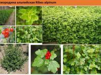 Смородина альпийская Ribes alpinumСмородина альпийская Ribes alpinum Green Garth