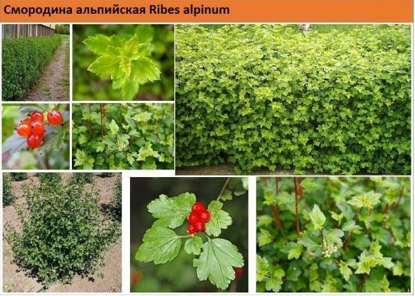 Смородина альпийская Ribes alpinum Green Garth