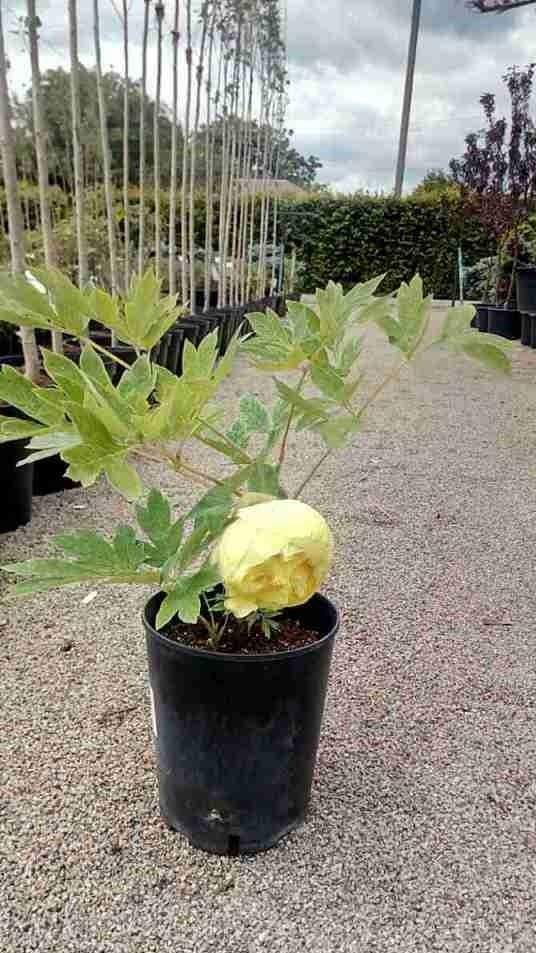 Пион древовидный Кинко Paeonia Suffruticosa Jin ge Green Garth