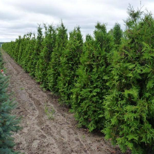 Туя западная Брабант (Thuja occidentalis Brabant) Green Garth