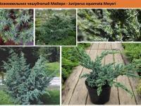 Можжевельник чешуйчатый Мейери Juniperus squamata Meyeri Green Garth