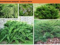 Можжевельник казацкий Juníperus sabína Green Garth