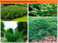 Можжевельник казацкий Мас Juniperus Sabina Mas Green Garth