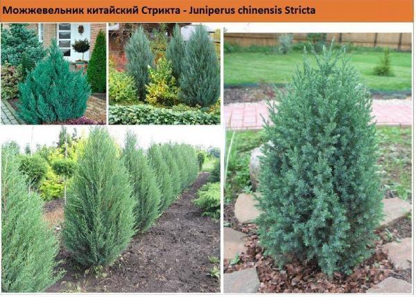 Можжевельник китайский Стрикта (Juniperus chinensis Stricta) Green Garth