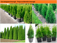 Туя западная Смарагд  Thuja occidentalis  Smaragd Green Garth