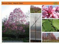 Магнолия 'Galaxy' Magnolia 'Galaxy'