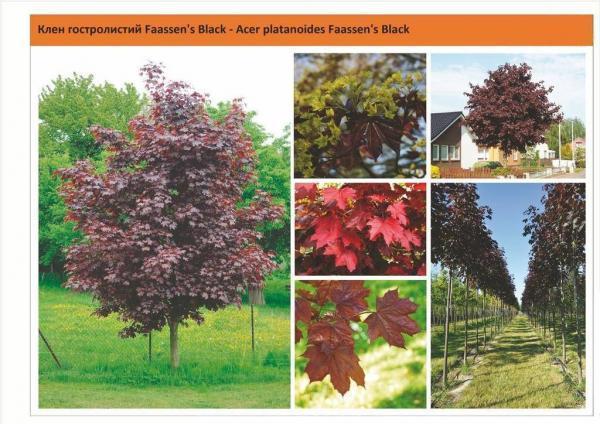 "Клен остролистный ""Фаасенс Блэк"" (Acer platanoides Faassen's Black) Green Garth"