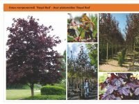 "Клен остролистный ""Роял Ред"" - Acer platanoides 'Royal Red Green Garth"