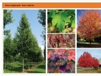 Клен красный Acer rubrum Green Garth