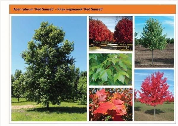 Клен красный Ред Сансет / Acer rubrum 'Red Sunset' Green Garth
