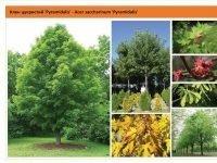 Клен серебристый 'Pyramidalis'  Acer saccharinum 'Pyramidalis' Green Garth