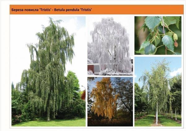 Береза повислая 'Tristis' Betula pendula 'Tristis' Green Garth