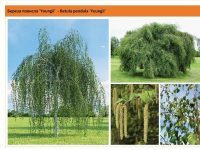 Береза повислая 'Youngii' Betula pendula 'Youngii' Green Garth