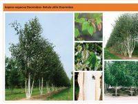 Береза полезная 'Doorenbos' Betula utilis 'Doorenbos' Green Garth