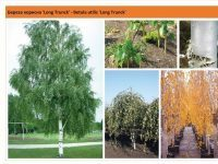 Береза полезная 'Long Trunck' Betula utilis 'Long Trunck' Green Garth