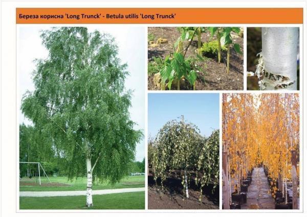 Береза полезная 'Long Trunck' Betula utilis 'Long Trunck' Green Garth