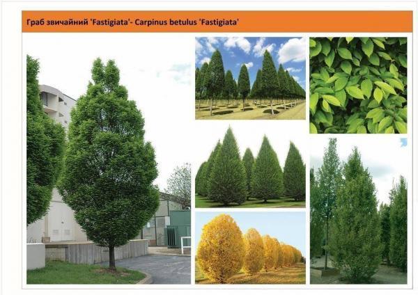 Граб обыкновенный 'Fastigiata' Carpinus betulus 'Fastigiata' Green Garth