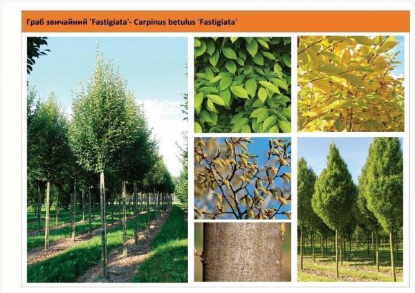 Граб обыкновенный 'Fastigiata'Pa Carpinus betulus 'Fastigiata'Pa Green Garth