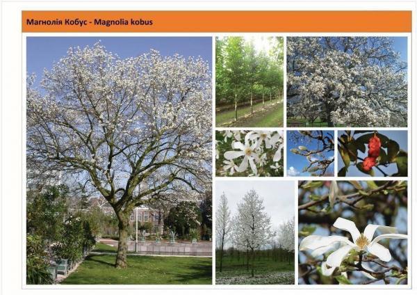 Магнолия Кобус Magnolia kobus Green Garth