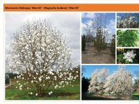 Магнолия Лебнера 'Merrill' Magnolia loebneri 'Merrill' Green Garth