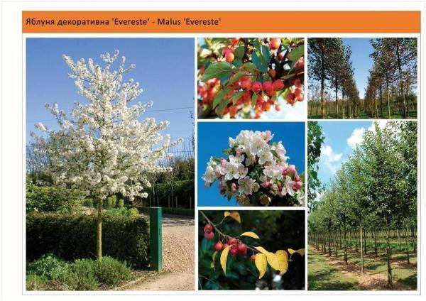 Яблоня `Evereste`Malus `Evereste` Green Garth