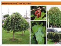 Шелковица белая `Pendula` Morus alba `Pendula` Green Garth