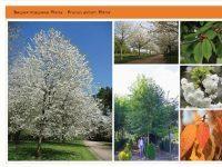 Вишня птичья 'Plena' Prunus avium 'Plena' Green Garth